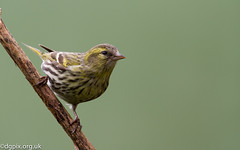 Female Siskin {explored} (Danny Gibson) Tags: bird nature birds wildlife birding finch finches birder avian birdphotography siskins sigma50500mm canon7d dgpixorguk