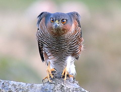 sparrowhawk this is a wild bird (ivorrichardk) Tags: sparrowhawkandbirdsww