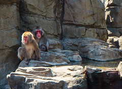 Snow Monkey (dandimar) Tags: bear park red sea snow animals zoo penguin monkey panda turtle central lion parrot tricks polar parot