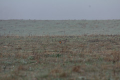 Greater Prairie-Chicken (Laura Erickson) Tags: kansas greaterprairiechicken tympanuchuscupido