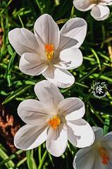 Crocus 2.4 (Eddie Chui) Tags: uk white flower dutch kew gardens giant spring nikon royal crocus botanic eddie chui iridaceae d90 chrysanthus vernus