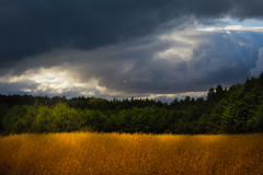 Wheat Field (Calm after the Storm) (Photography Revamp) Tags: trees light field clouds day cloudy wheat polad podkarpackievoivodeship