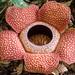 Rafflesia keithii