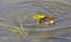 2016-05-06 - 16.09.30 - _L5B3350 - 5 (Rossell' Art) Tags: pad frog toad sapo rana frosch grenouille kikker rano bufo r krte crapaud  rospo doodebemde batracien