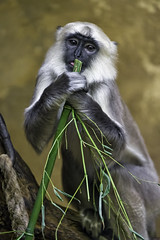 Young langur with bamboo (Tambako the Jaguar) Tags: portrait playing cute germany dark zoo monkey holding nikon eating watching young hannover bamboo hanover primate langur d4