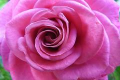 rose di maggio (Jedidi) Tags: rosa