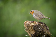 IDK59652 (sharonanderson5) Tags: bird robin pentax yorkshire bottom cromwell k5