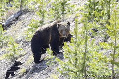 Are you keeping up, little one? (V. C. Wald) Tags: yellowstonenationalpark ursusarctos grizzlybear gibbonriver grizzlycub greateryellowstonegrizzlybear