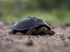 water turtle (cosmonaut576) Tags: southafrica turtle wildlife olympus safari pro 28 krugernationalpark kruger gamedrive schildkrte waterturtle 40150 8pro omdem5 olympusmzuikodigitaled40150mm12