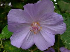 Abutilon vitifolium (yewchan) Tags: flowers flower nature colors beautiful beauty closeup garden flora colours gardening vibrant blossoms abutilon blooms lovely abutilonvitifolium chileantreemallow