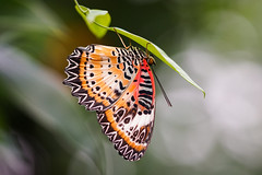 Red Lacewing Butterfly (Morten Kirk) Tags: red macro london animal butterfly zoo spring g sony ii planet fe 90mm animalplanet f28 morten kirk lacewing tier oss 2016 zsl a7r sel90m28g sonya7rii a7rii ilce7rm2 fe90mmf28macrogoss mortenkirk