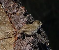House Wren--Troglodytes aedon (Polioptila caerulea) Tags: bird wren troglodytes housewren troglodytesaedon howr nevadacountybreedingbirdatlas bocaspringscampground