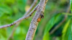 Der Kfer (Enrico*Palazzo) Tags: bug frhling marienkfer