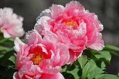 (nobuflickr) Tags: flower nature japan kyoto peony   treepeony    paeoniasuffruticosa kenninjitemple  moutanbotan 20160420dsc07586