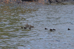 Female common eiders with their young (JonasSuni) Tags: sea bird water animal fauna suomi finland outdoor wildlife