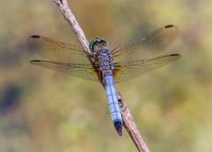 Blue Dasher (tresed47) Tags: 2014 20140608chestercountymisc bluedasher canon7d chestercounty content dragonflies folder insects pennsylvania peterscamera petersphotos places springtonmanor takenby us ngc