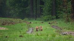 New generation (Theo Bauhuis) Tags: wild wildlife veluwe zwijn loenen biggen loenermark zwijnen
