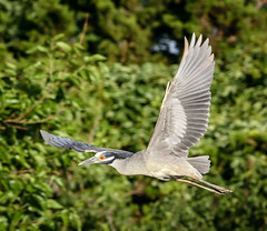 Yellow-crowned Night Heron (tresed47) Tags: 2016 201606jun 20160620njoceancitybirds birds canon7d content folder heron newjersey oceancity peterscamera petersphotos places takenby us yellowcrownednightheron