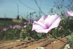 20120530_Wildflowers (jae.boggess) Tags: spain espana europe travel trip eurotrip spring springtime barcelona wildflower montjuic