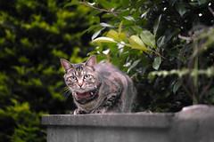 Domestic cat (@shinxing) Tags: cat sigma foveon dp3m ft1201