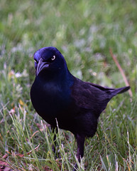 Common Grackle-1