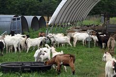 Busy (baalands) Tags: test house water hoop feeding performance drinking maryland goat meat pasture western kiko feeders bucks trough