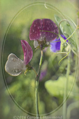 2016-06-25-_MG_1747TTr (CarolesPhotoArt) Tags: art frame raindrops muted sweetpeas