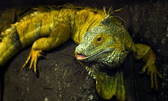 The Iguana (whidom88) Tags: the iguana