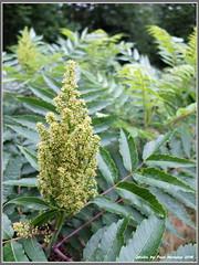 sumac blossoms (pvh photo) Tags: sumac