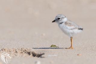 Piping Plovers - Sandy Hook NJ | 2016 - 5