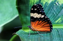 Cracker Butterfly Wings Closed (dianne_stankiewicz) Tags: nature butterfly insect wings allnaturesparadise