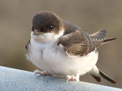 House Martin (Peanut1371) Tags: white black bird martin housemartin nationalgeographicwildlife