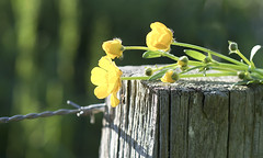 The buttercup fence (Elisafox22 Internet On/Off at the moment) Tags: elisafox22 sony ilca77m2 100mmf28 macro macrolens telemacro fencefriday fence wood wooden fencepost buttercups yellow sunshine fencedfriday outdoors shadows elisaliddell2016 flower flowers green leaves sooc