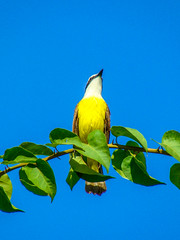Singer (Jorge Hamilton) Tags: cerrado pssaro bird bemtevi bem te vi passarinho little amarelo yellow jorgehamilton brandao brando
