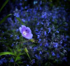 Lilac one (Varvara_R) Tags: flowers blue summer macro nature fleur blumen blau