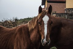 #293 of 365 days - Horse & fog (Ruadh Sionnach) Tags: horse fog nature field natur cavalo neblina campo farm travel viagem ranch rancho natureza naturaleza natural animal pet equine equino