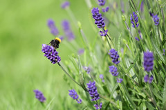 Bumblebee and Summer <3 (D.Sinkute) Tags: summer green lavender bee bumblebee