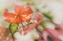 Bokeh Beauties (LornaTaylor) Tags: 50mmlens allrightsreserved copyright2016lornataylor lornataylor taylorimagesca blur bokeh flowers greenlandnusery lensbaby lensbabysweet50 summer sweet50