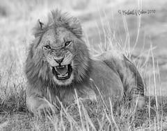 20100826-_JC_6021.jpg (MyKeyC) Tags: africa blackandwhite male kenya lion lions flies snarl mane ferocious eastafrica aftrica