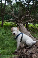 Wiggo on a pine (ghostwheel_in_shadow) Tags: england dog tree london pine dead mammal death flora europe unitedkingdom terrier evergreen jackrussell royalparks richmondpark vertebrate conifer wiggo scotspine parsonrussell englandandwales