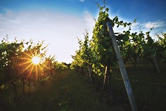 Golden vineyard (Pavel Cervenka Photographer) Tags: light summer sky sun sunlight plant nature beautiful clouds canon wow evening vineyard high nice republic shine dynamic czech south awesome wide column rays range hdr impressive pavel 6d vinery cervenka moravia ef24105 slovcko maatice