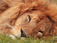Lazy Lion.. (Hais Arbad)! (ZiZLoSs) Tags: wild face animal canon turkey eos close lion usm aziz abdulaziz   600d f56l zizloss  ef400mm 3aziz  almanie abdulazizalmanie