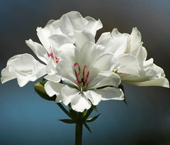 Smoothness for Flower Thursday! (mara zocolotte) Tags: flowers sunlight white flores nature sunshine brasil natureza quintaflower pure whiteandblue smoothness suavidade floresdobrasil flowersarebeautiful sunrays5