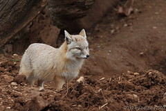 Fuchs (Canidae) (hellboy2503) Tags: winter green nature water canon germany wasser natur group images fox 7d getty hunter grn 70200 fell fuchs gettyimages jrg gruppe ruber gesellschaft beute jger wachsam gettyimagescallforartists gettyimagesartistpicks hellboy2503 allofnatureswildlifelevel1 allofnatureswildlifelevel2 allofnatureswildlifelevel3 allofnatureswildlifelevel4 allofnatureswildlifelevel5 allofnatureswildlifelevel8 allofnatureswildlifelevel6 allofnatureswildlifelevel7 allofnatureswildlifelevel9