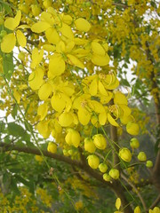 kanikonna (sooraj venmanassery) Tags: flowers kerala yello vishu kanikonna
