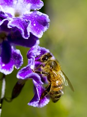 Beeutiful Duranta (aussiegall) Tags: autumn flower tree bug wings bush purple bee honey pollen duranta geishagirl
