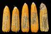 Aspergillus colonized maize cobs (IITA Image Library) Tags: maize aspergillus zeamaize