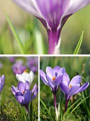 Springtime! (Kim van Dijk photography) Tags: flower macro collage closeup spring flora nikon purple violet crocus picnik krokus d90 nikond90 kimvandijk