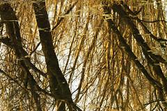 Groviglio (Claudio61 una foto ferma un ricordo nel tempo) Tags: alberi canon ticino tramonto fiume natura acqua reflexions colori riflessi lomellina villareale riflettere canon7d oltusfotos flickraward uniqueaward flickrunitedaward claudio61 virgiliocompany musictomyeyeslevel1 parcolombardovalledelticino