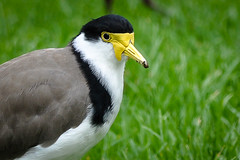 Masked Lapwing (salnel) Tags: thegalaxy mygearandme mygearandmepremium mygearandmebronze mygearandmesilver mygearandmegold flickrstruereflection1 flickrstruereflection2 flickrstruereflection3 flickrstruereflection4 flickrstruereflection5 flickrstruereflection6 allofnatureswildlifelevel1 allofnatureswildlifelevel2 allofnatureswildlifelevel3 allofnatureswildlifelevel4 allofnatureswildlifelevel5 allofnatureswildlifelevel8 allofnatureswildlifelevel6 allofnatureswildlifelevel7 allofnatureswildlifelevel9 rememberthatmomentlevel1 rememberthatmomentlevel2 rememberthatmomentlevel3 soulocreativity1